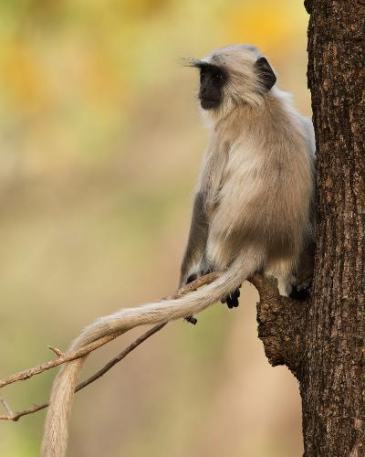India - monkey