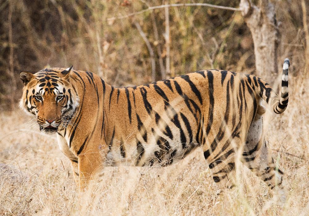 India - tiger