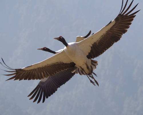 Bhutan Phobjikha Valley cranes