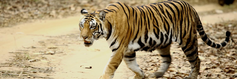 Tiger Nepal