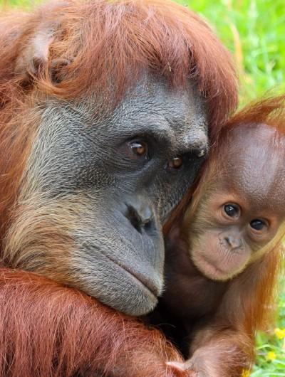 Malaysia – Orangutans!